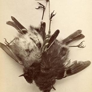 Rotkehlchen, Eduard Schindler um 1862, 40 x 31 cm © Milaneum 2017