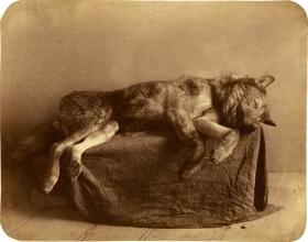 Der letzte Wolf, Carl Lemann, Wien ca. 1859, Albuminabzug ©Mila Palm 2018